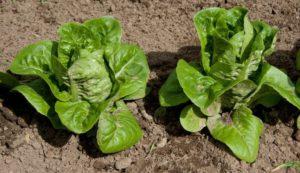 Зеленые листовые салаты на вашем столе, личный опыт