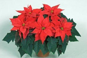 Рождественская звезда или пуансеттия