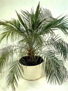 Как финиковую пальму из косточки вырастить