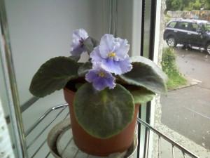 Чем подкормить фиалки, чтобы цветы были крупнее