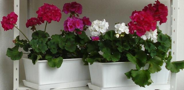 Причины почему плохо цветет герань