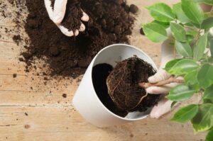 Пересаживаем комнатные растения, как правильно это сделать